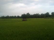 Ketika padi sedang tumbuh dengan sangaaat subur. Bukan hanya pak tani yang senang, aku dan tetangga pun disuguhi pemandangan yang sangat indah setiap hari